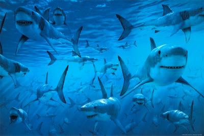 external image sharks.jpg